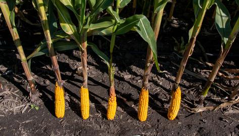 Corn ears resting on stalks in a field