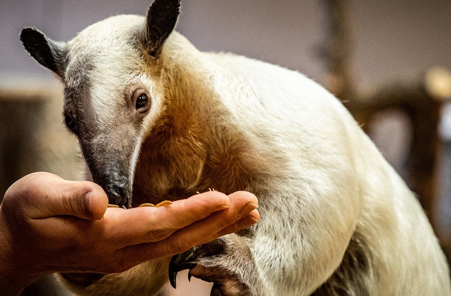 a Southern Tamandua, aka lesser aardvark, feeds from a human hand