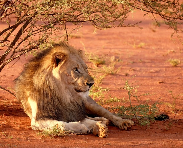 lion leaning near tree during daytime on safari in south africa