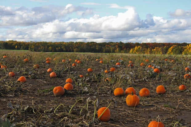 Pumpkin patch with fall trees in the background