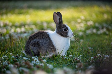 Brown and white bunny rabbit in a field of grass.