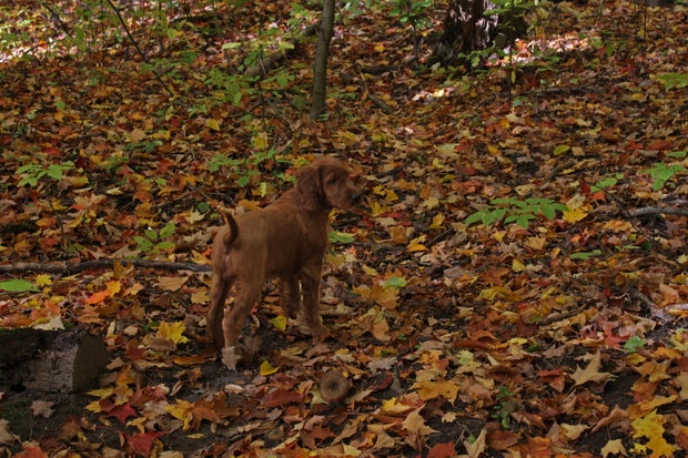 Irish Setter puppy in fall leaves