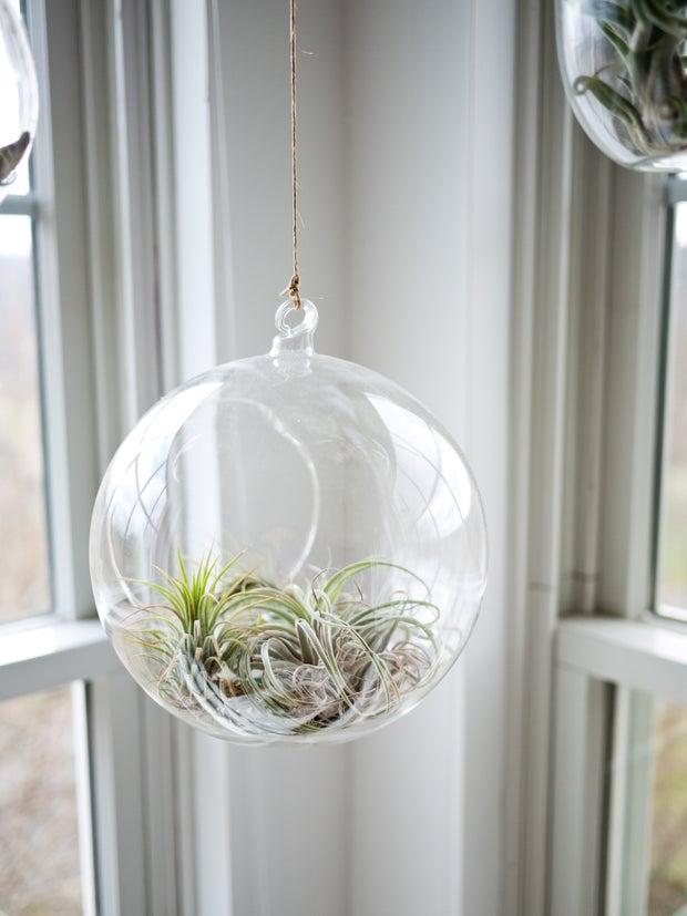 Air Plants Hanging