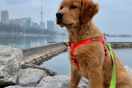 3 month old golden retriever puppy in the city