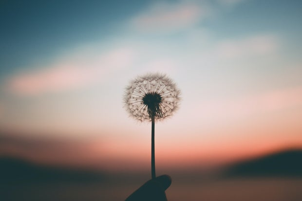 person holding a dandelion flower and sunset