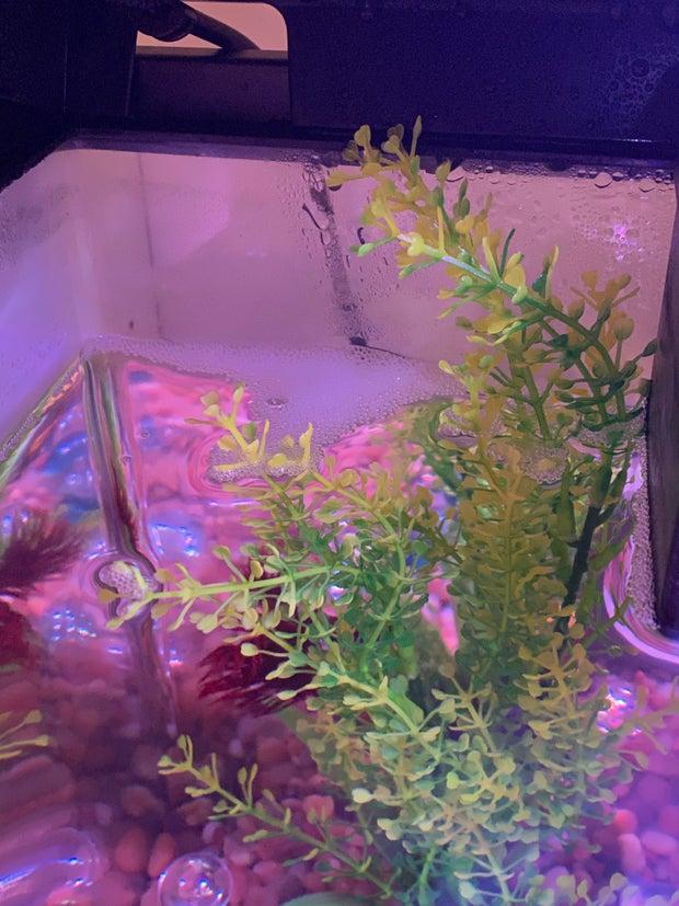 Betta fish bubble nest
