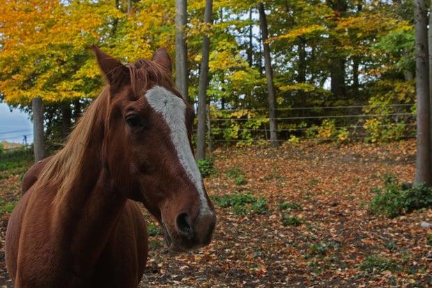 Chestnut horse at the farm
