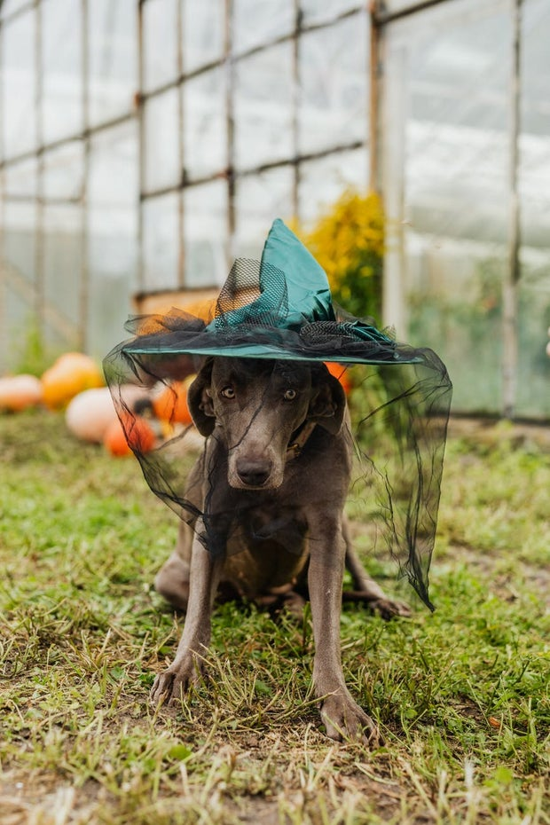 Dog in a witch hat