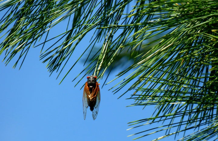 cicada hanging in a tree