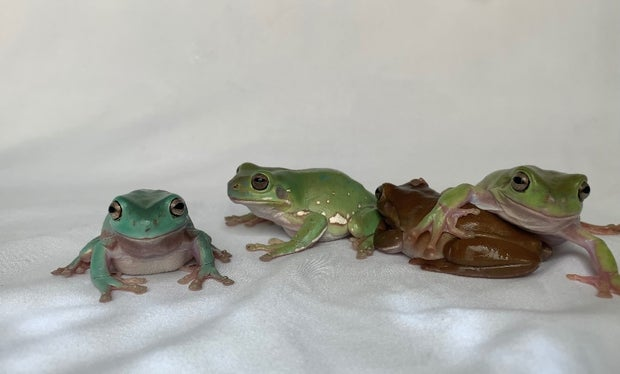Four frogs sitting together