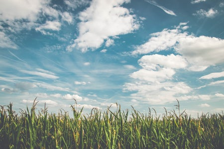 green corn field with blue sky and white clouds