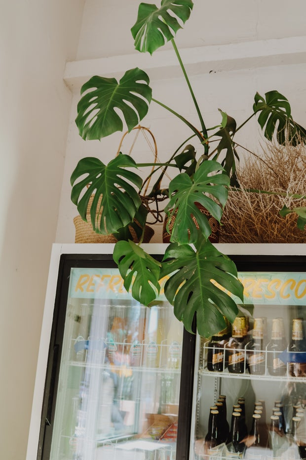 Monstera plant on top of soda machine