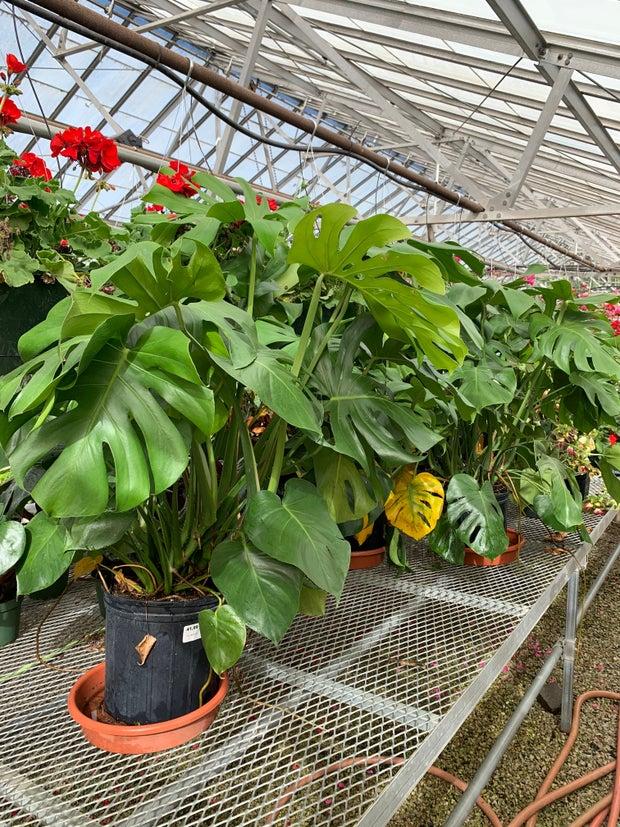 Large Monstera plants