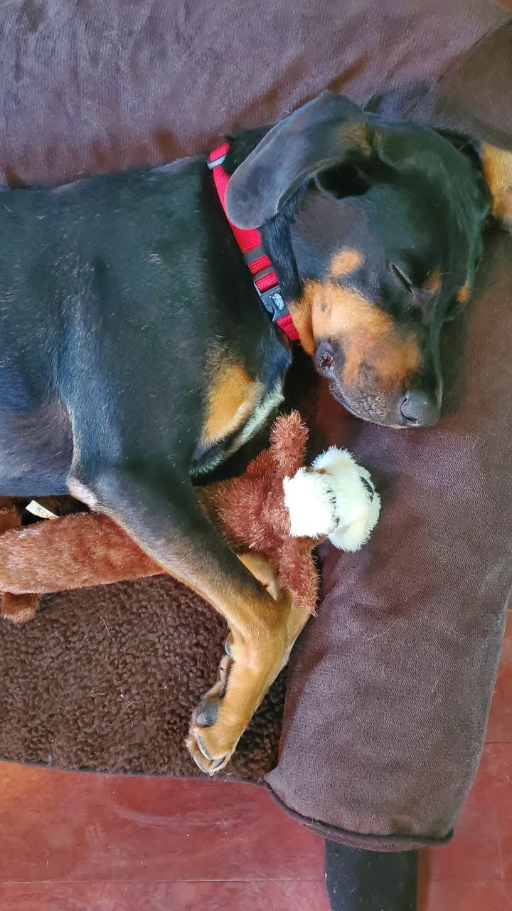 Dog sleeping with toy in bed