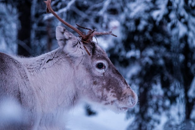 Close-up photo of a Caribou with snow in the background.