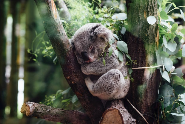 koala sleeping in eucalyptus tree