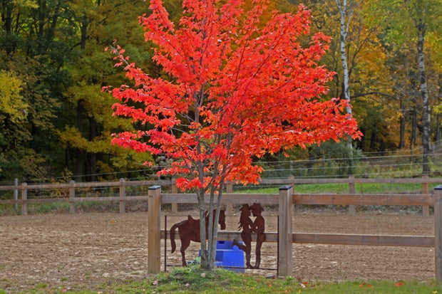 Red tree with outdoor ring and metal silhouette in the background
