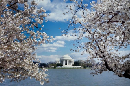 Cherry blossoms with Jefferson Memorial in the background