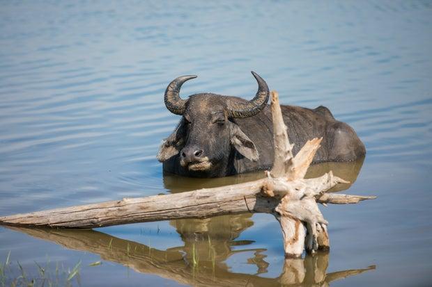 Water buffalo swimming, Sri Lanka.
