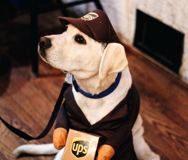 A dog in a UPS costume