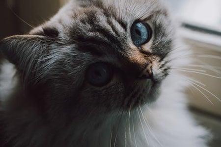 blue eyed cat aesthetic