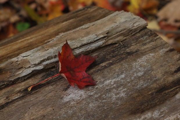 Red leaf on log