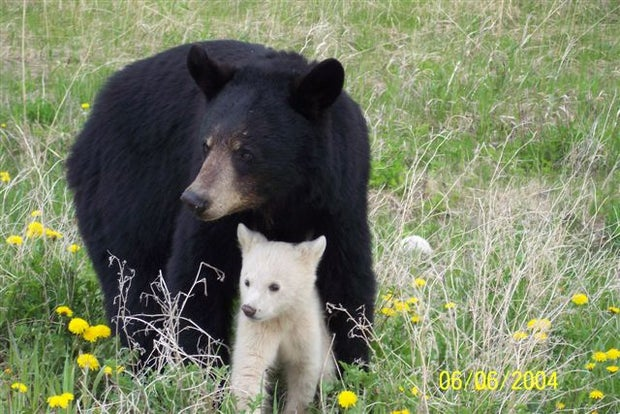 A mother black bear with her cub, a rare kermode or spirit bear.