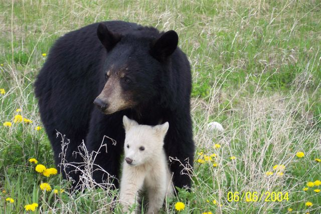 A mother black bear with her cub, a rare kermode or spirit bear.