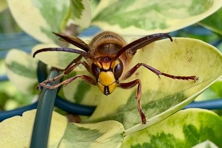 Hornet on leaves