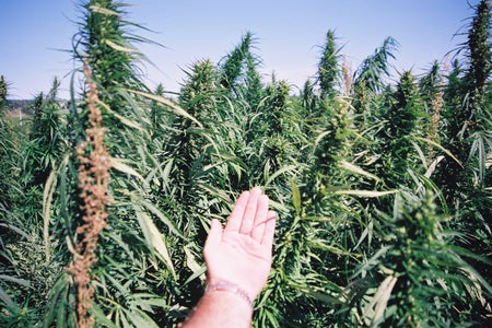 Image of hemp plants with a hand to emphasize the size of plants.