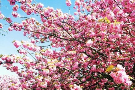 nature flowers spring pink