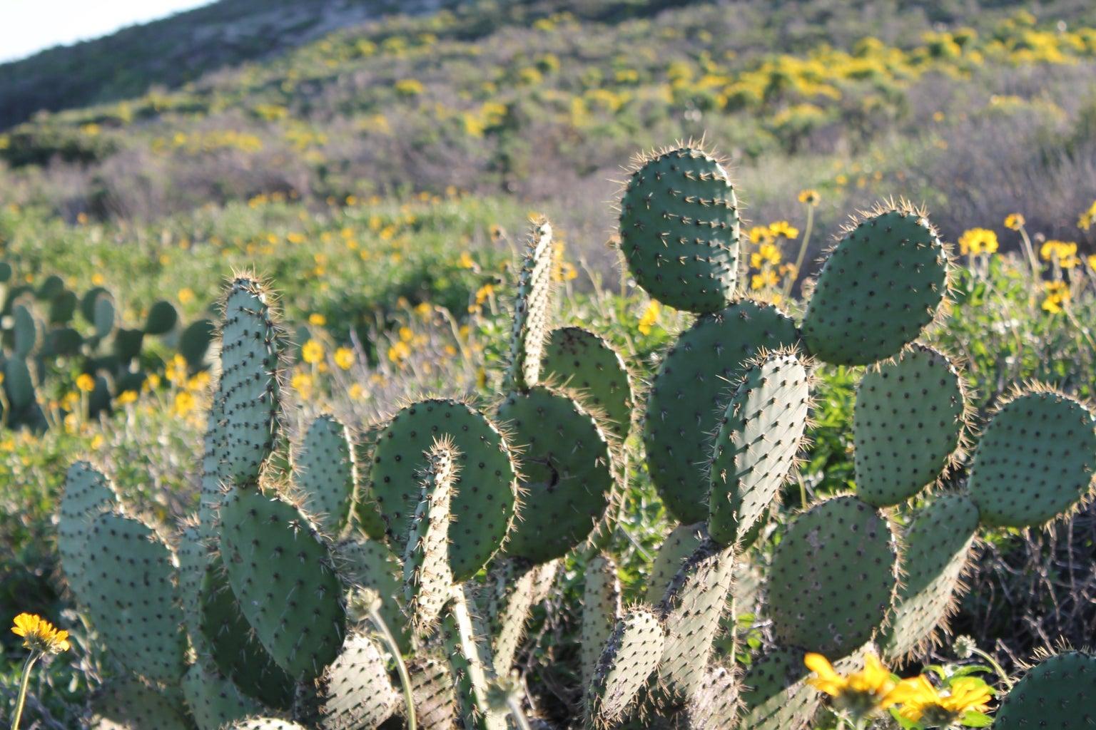 Cactus Flowers Plants California Hiking Original