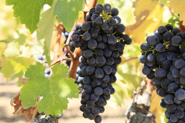 Vineyard Grape Bunches