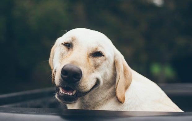 Golden lab smiling