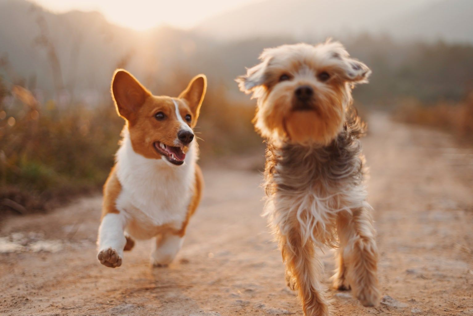 two dogs running at sunset in a field