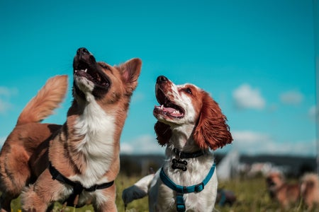 two brown and white dogs in a field outside