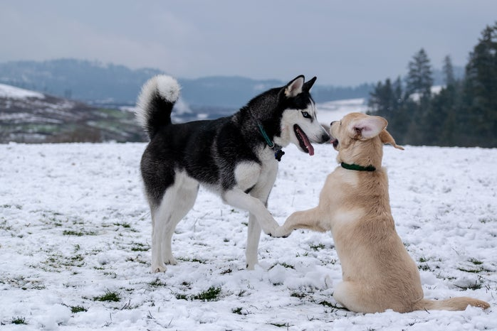 black and white Siberian husky playing in the snow in Canada