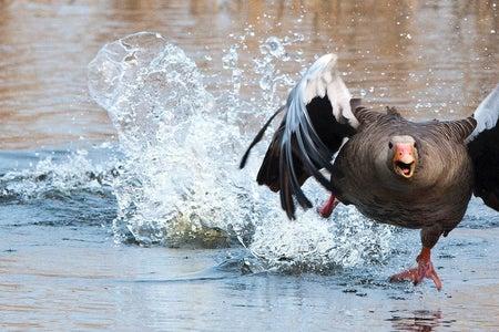 Goose in water running at camera