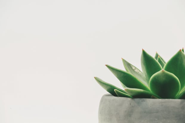 succulent on white background