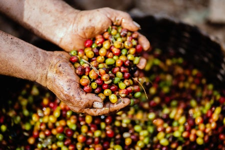 Coffee Beans with hands (body image)