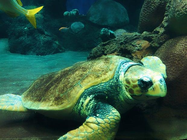 Turtle floating