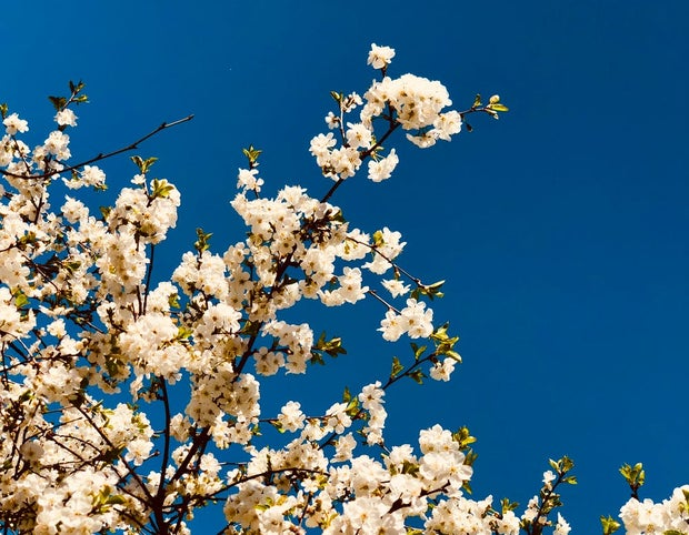 white flowered tree against vivid blue sky