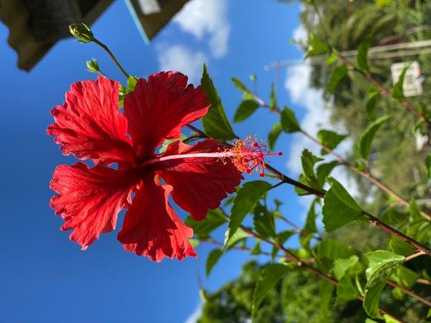 Panama Flower