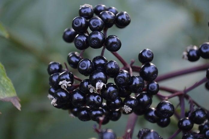 Cluster of elderberries on a branch