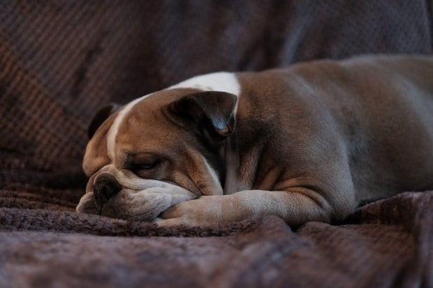 Bulldog laying down
