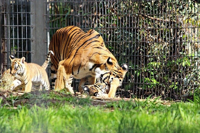tiger playing with cub in cage