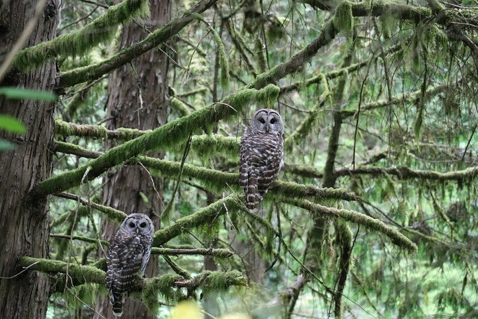 Owls sitting on tree branches