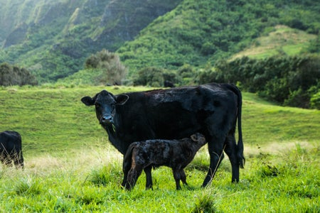 A baby cow with its mother in a field