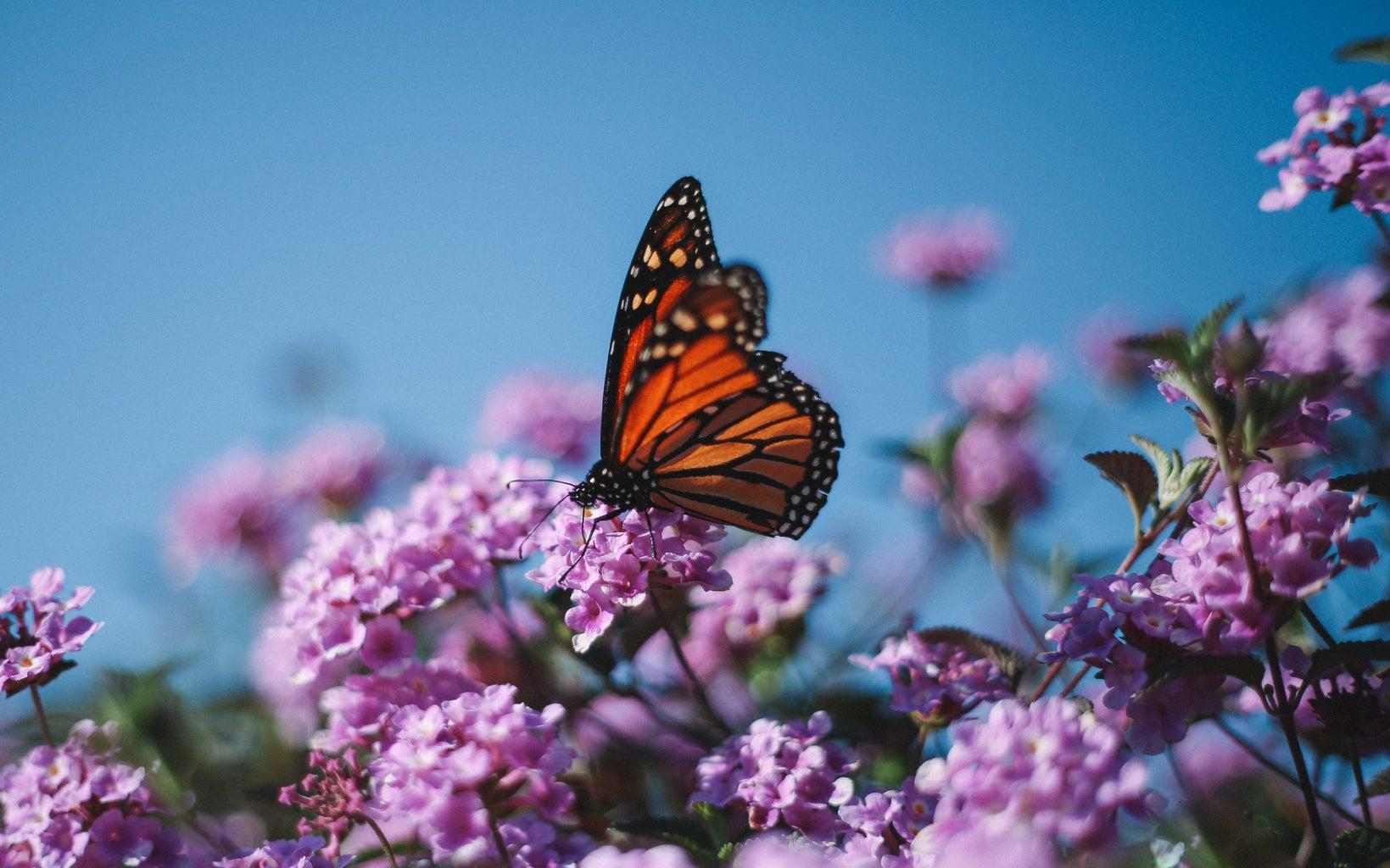 Monarch butterfly resting on purple flower