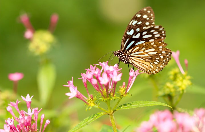 spotted brown butterfly on a pink flower